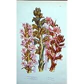 C1870 アンプラットの植物のほうきの強姦のクローブの香料入りの高い