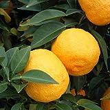 ユズ(柚子):とげなしユズ[とげなし柚子]4~5号ポット[柑橘・かんきつ類苗木] ノーブランド品