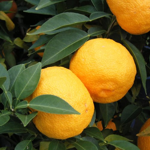 本柚子(ホンユズ)4?5号ポット[香り高い酢ミカンの代表 大実ユズ][柑橘・かんきつ類苗木]