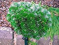 SEEDS PLAT会社-50pcs / lotは珍しい韓国モミ種、モミコリアナ「Silberperle」ミニチュア韓国モミの木盆栽花木の種子庭の植木鉢10