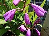 紫蘭 5本セット