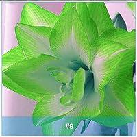 有機種子だけでなく、植物:4:アマリリスrdosリリーSEEDアマリリス、グリーンAmarylliss BY FERRY