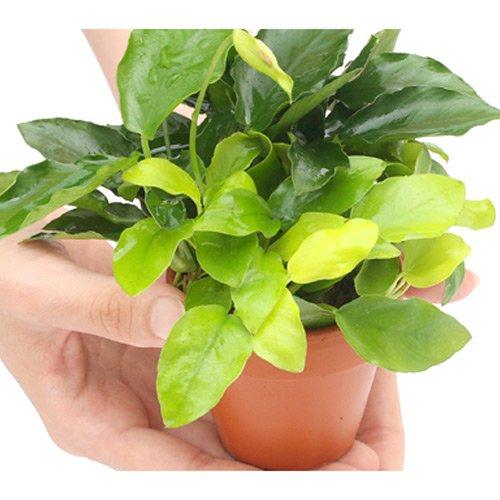 (水草 熱帯魚)素焼き鉢 寄せ植えミックス Ver.小型アヌビアス ミックス(1個) 本州・四国限定[生体]