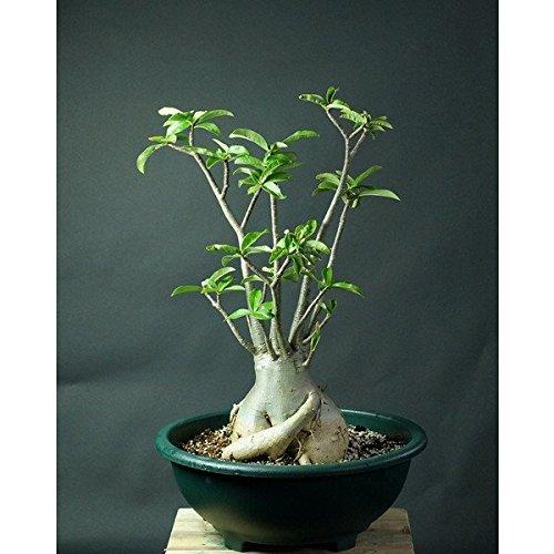 砂漠のバラと呼ばれ、大変美しいピンクの花を咲かせる。バオバブを思わせる寸胴の愛らしい姿から人気がある逸品。(アデニウム アラビカム 10粒) 盆栽仕立ても人気 [並行輸入品]