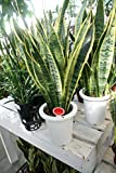 【ラッピング代込】 観葉植物 サンスベリア(サンセべリア) 5号鉢 【ギフト】