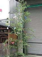 【天然】七夕の笹 2m
