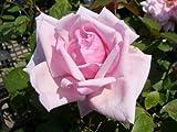 バラ苗 ラフランス オリジナル角鉢 中苗 木立バラ 四季咲き ピンク 強健 バラ 苗 薔薇 バラ苗木
