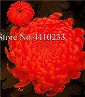 昇進!300ピースグラウンドカバー菊Bonsai、Pericallis Hybridaアスターフラワー多年生Bonsaiindoor植物デイジーポットG:あなた