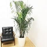 三角ヤシ ミエミツヤシ 10号 トライアングルパーム 観葉植物 大鉢 観葉植物 インテリア 大型 オシャレ 大きい 尺鉢 大サイズ 本物