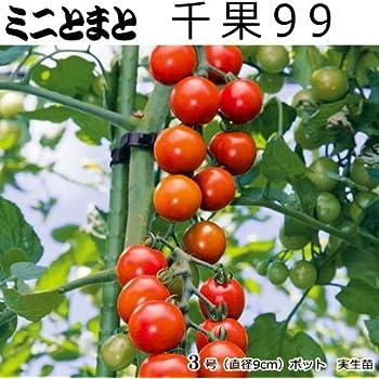 Amazon | 実生 ミニトマト 苗 千...