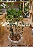 オリーブの木 品種違い2本寄せ植え Oli-me(オリーミー)アンティーク風テラコッタ陶器鉢植え仕上げ SOUJU 創樹