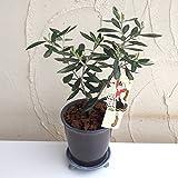 オリーブ鉢植え:OLIVE OLIVE アズキMサイズ* ノーブランド品