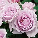 バラ苗 つるブルームーン 国産新苗植え替え6号スリット鉢 つるバラ(CL) 返り咲き 紫系