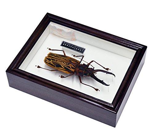 世界で最も大きい顎を持つカミキリムシ 名和昆虫博物館 企画・製作 オオキバウスバカミキリ(155mm)の標本