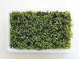 【苔】【こけ】【盆栽】シノブゴケミニパック(M)(222×143mm)