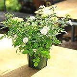 鉢花:つる性ミニバラ グリーンアイス*5号プラポット