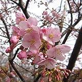 桜[サクラ・カンヒザクラ系]:河津桜[カワヅザクラ]接木苗4~5号ポット ノーブランド品