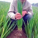 損失プロモーションフォーシーズンズ小さなバルコニー鉢植えの植物種子香りのエシャロットの種子*ギフト、 - 20種子/バッグ、