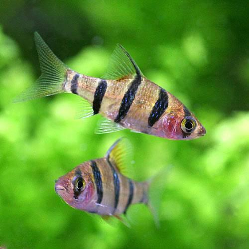 (熱帯魚)プンティウス・ペンタゾナ・ジョホレンシス(2匹) 本州・四国限定[生体]