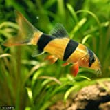 (熱帯魚)クラウンローチ(3匹) 本州・四国限定[生体]