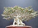 【多肉植物/種子】Euphorbia Capsaintemariensis★ユーフォルビア カプサインテマリエンシス♪ [並行輸入品]
