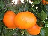 柑橘類 苗木 みかん 苗 西南のひかり 2年生 接ぎ木 果樹苗木 果樹苗 ミカン 蜜柑 カンキツ