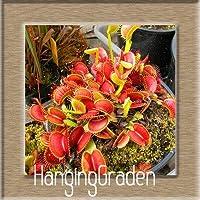 2:100個/パックの鉢植えの食虫植物の種子Dionaea Muscipulaジャイアントクリップ金星のFlytrapの種子肉食性の植物、#1Vem0V