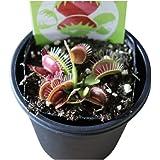 食虫植物 3号 (1ポット, ハエトリソウ)