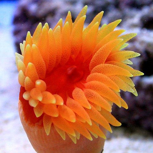 (海水魚 サンゴ)ハナタテサンゴ(1個) 本州・四国限定[生体]