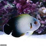 (海水魚 ヤッコ)ナメラヤッコ(1匹) 本州・四国限定[生体]