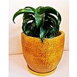 観葉植物 ドナセラ トルネード  陶器鉢入