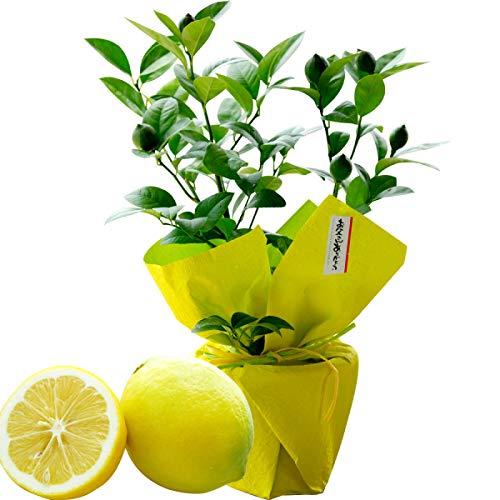 父の日ギフト プレゼント お中元に父の日『初夏の果樹鉢植え』父の日 父の日 人気 ランキング プ 父の日期間6/12~16着:着日お任せ,レモンの木鉢のままで収穫!