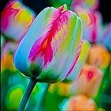 TOPmountain チューリップの花の種 100個 混合チューリップ球根 ガーデンバルコニー植物種子装飾