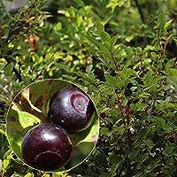 種子:年間フルーツ種子ホームガーデンブルーベリーマウンテンハックルベリーブッシュ種子[OK]を