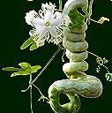 Swansgreen Serpentひょうたんのように長いヘビの果物と野菜約1.5Mひょうたんの種Seasons簡単なSnake Beans Edible