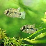 (熱帯魚)アノマロクロミス・トーマシー(4匹) 本州・四国限定[生体]