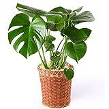 モンステラ 6号鉢バスケット 観葉植物 インテリア グリーン
