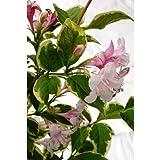 斑入り空木 フイリウツギ 苗 1ポット