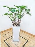 【送料無料】ロングスクエア陶器鉢仕立ての幹上がりクッカバラ/85cm前後(8号)
