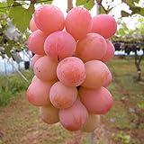 ぶどう 苗木 クイーンニーナ(PVP) 12cmポット ブドウ苗 葡萄