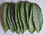 夏場向けに★ネコポス速着に変更「お試しパック」びわの 生葉 【梅】(サイズ中、小・混合)10枚  温灸、湿布等、多用途【農家直送】