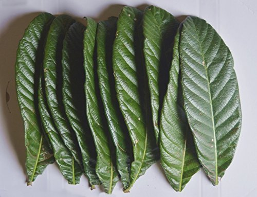 10・びわの 生葉 【梅】(サイズ混合)10枚 「松,竹大サイズ1枚入り」 80g~100g【農家産直・無農薬 新鮮。】多用途