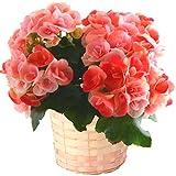 リーガース ベコニア フラワーギフト 鉢植え 4.5号鉢 (ベイビーピンク) 花のギフト社(Hana No Gift Sha) 株式会社花のギフト社