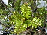 山椒 苗 葉サンショウ 1年生実生苗 果樹苗木 木の芽