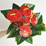 LAND PLANTS 【観葉植物】 アンスリューム真赤な花付き観葉植物 白色プラスチック鉢 5号サイズ