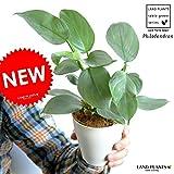 LAND PLANTS フィロデンドロン シルバーメタル 白色プラスチック鉢セット 4号サイズ ツル性の植物 ポトス