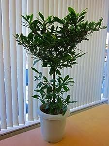 ミラクルフルーツの木(実つき)実が付いている珍しい苗木です。最高級品で10個~20個の実付きです!不思議な果樹をご自宅でお楽しみいただけます。実を舐めた後に、甘く感じるレモンを体験してください!