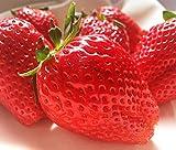 スカイベリー 苺 約300g×2パック 栃木県産 贈答可能 大粒 いちご
