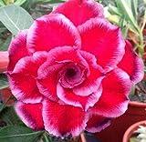 アデニウム アラビカム オベスム 砂漠のバラ塊根植物Adenium obesum Desert Roses plant no257-Quatro-Red-smile