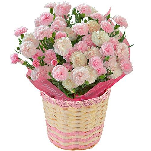 カーネーション フォセットベビーピンク フラワーギフト 花鉢 母の日ギフト